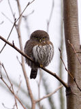 Pygmy Owl Stock Images