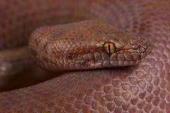 Pygmy python / Antaresia perthensis royalty free stock image