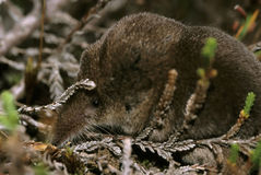 Pygmy Shrew Royalty Free Stock Images