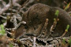 Pygmy Shrew. In heather - Sorex minutus Royalty Free Stock Images
