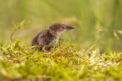 Pygmy shrew looking in natural environment Stock Photos
