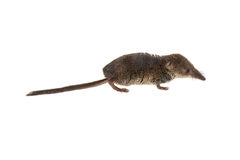 Pygmy shrew on white background Royalty Free Stock Photos
