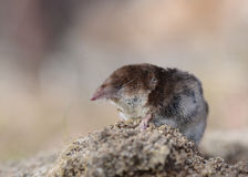 Pygmy Shrew. Wild pygmy shrew on the ground Stock Photography