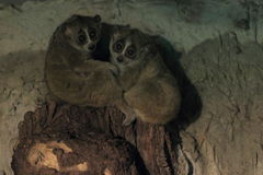 Pygmy slow loris royalty free stock images