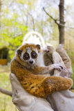 Pygmy slow loris (Nycticebus pygmaeus). A female pygmy slow loris in hand stock images
