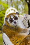 Pygmy slow loris (Nycticebus pygmaeus). A female pygmy slow loris in hand royalty free stock photos