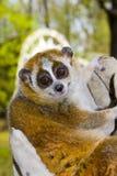 Pygmy slow loris (Nycticebus pygmaeus). A female pygmy slow loris in hand royalty free stock photos