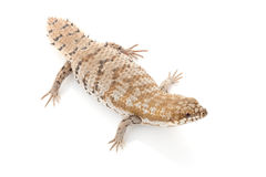Pygmy Spiny-tailed Skink Stock Images