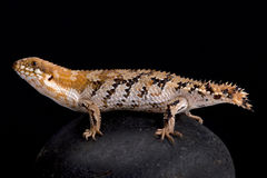 Pygmy spiny-tailed skink, Egernia depressa. The Pygmy spiny-tailed skink, Egernia depressa, is heavily armored lizard species. The tail is used to block the Royalty Free Stock Photo