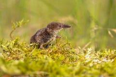 Pygmy spitsmuis die in natuurlijk milieu kijken stock foto's