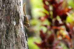 Pygmy tree squirrel Royalty Free Stock Photo