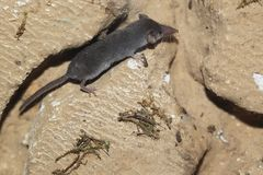 Free Pygmy White-toothed Shrew Royalty Free Stock Images - 103805399