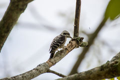 Pygmy woodpecker find the insect Stock Images