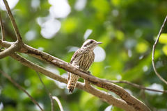 Pygmy woodpecker find the insect. On a tree Stock Photography