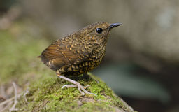 Pygmy Wren Babbler Royalty Free Stock Photography