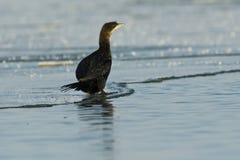PygmyCormorant på is Royaltyfri Bild