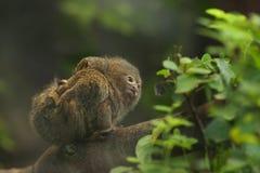 PygmyMarmoset, minst apa i världen Arkivfoto