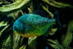 Pygocentrus nattereri  Red-bellied Piranha Royalty Free Stock Photos