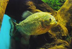 Pygocentrus nattereri. Red piranha. Stock Photos