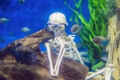 Pygocentrus nattereri Skelett och piranha i ett akvarium royaltyfri bild
