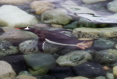 Pygoscelis Папуа пингвина gentoo плавая под водой как она причаливает берегу, Антарктике Стоковые Изображения RF
