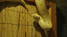Pyhton Snake stock footage