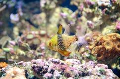 The Pyjama Cardinalfish stock photography