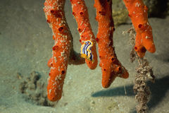 Free Pyjama Chromdorid (chromodoris Quadricolor) Stock Photos - 5346053