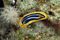 Pyjama chromodorid (chromodoris quadricolor). Stock Photos