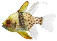 Pyjama-hauptsächliche Fische (Sphaeramia nematoptera) Lizenzfreies Stockfoto