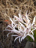 Pyjama Lily. (Crinum macowanii) in Zambia Stock Photography