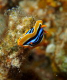 Pyjama Nudibranch Chromodorid Red Sea Royalty Free Stock Image