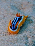 Pyjama Nudibranch Chromodorid Red Sea stock images