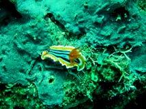 Pyjama sea slug Chromodoris quadricolor stock images