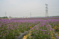 Pylons in blossoming flower field Stock Photos