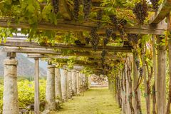 The typical agricultural architecture of the vineyards of Carema,Piedmont,Italy. Pylons, stone and lime columns and chestnut poles support the pergola of rows of Royalty Free Stock Photos
