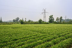 Pylons in verdant farmland cultivates with Chinese chives Royalty Free Stock Photography
