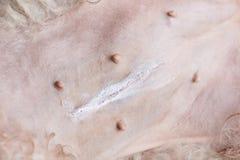 Pyometra dog surgery. Dog surgery concept. Scar on dog belly Royalty Free Stock Images