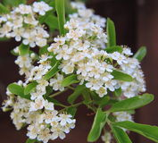 Pyracantha. (Rosaceae) in bloom with small white flowers Royalty Free Stock Photos