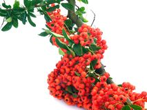 Pyracantha Royalty Free Stock Photography