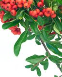 Pyracantha Royalty Free Stock Image