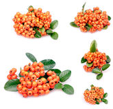 Pyracantha Photo stock