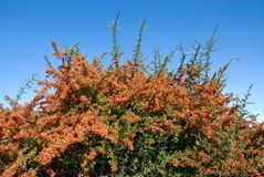 Pyracantha Royalty Free Stock Photo