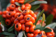 Pyracantha Stock Photos