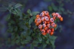 Pyracantha anaranjado jugoso de las bayas del fondo colorido del otoño Imagen de archivo