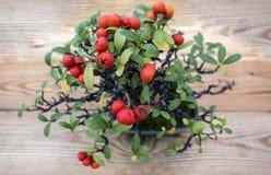 Pyracantha Angustifolia dei bonsai Fotografie Stock Libere da Diritti