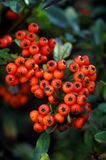 Pyracantha. Autumn hedges with berries Pyracantha Stock Photos