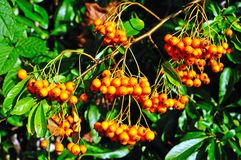 Pyracantha berries in the Autumn. Royalty Free Stock Images