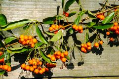 Pyracantha berries in the Autumn. Stock Images
