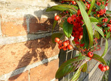 Pyracantha on brick wall with red berries fruit. Royalty Free Stock Images